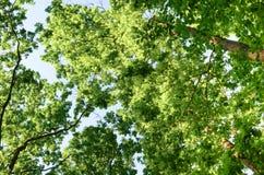 Baum-Zweige gegen blauen Himmel Stockbild