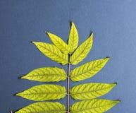 Baumast Ailanthus altissima lizenzfreies stockbild