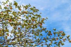 Baumast auf Hintergrund des blauen Himmels Rotes und grünes Blatt des Herbstes Stockbild