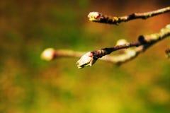 Baumast bevor dem Blühen Stockfotos