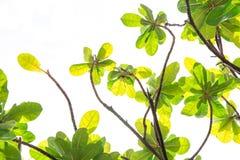 Baumast mit Grünblättern auf Weiß, Stockfotos
