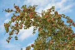 Baumast voll von Äpfeln Lizenzfreies Stockfoto