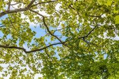 Baumaste, die oben mit grünen Blättern und blauem Himmel schauen Stockfotografie