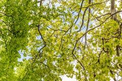 Baumaste, die oben mit grünen Blättern und blauem Himmel schauen Stockfoto