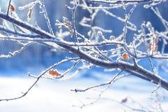 Baumaste eingefroren im Eis Gefrorener Baumast in der Winterwaldniederlassung umfasst mit Schnee Stockbilder