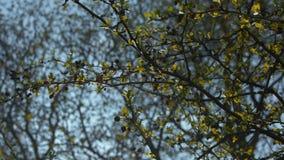 Baumaste im Spätfrühling mit den Knospen, den goldenen Blättern und einem klaren Hintergrund des blauen Himmels stock footage