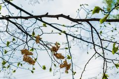 Baumaste mit den Blättern des getrockneten letzten Jahres auf dem Hintergrund von blühenden grünen frischen jungen Blättern lizenzfreie stockfotografie