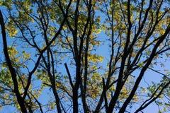 Baumaste mit gelben Blättern Stockbilder