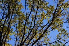 Baumaste mit gelben Blättern Lizenzfreie Stockbilder