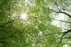 Baumaste und grüne Blätter unter Sonnenlicht mit Strahl des Lichtes stockfotos