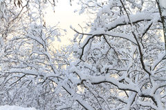 Baumaste und mit Schnee Stockbilder