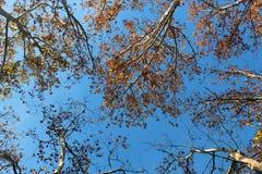 Baumaste von unterhalb gesehen gegen blauen Himmel Lizenzfreies Stockbild
