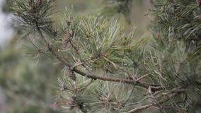 Baumastkiefer mit Kegeln und grünen Nadeln, Bewegung, entwickeln sich von den Windstößen in der Waldfläche Hurrikan, Sturm stock video footage