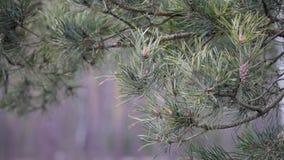 Baumastkiefer mit Kegeln und grünen Nadeln, Bewegung, entwickeln sich von den Windstößen in der Waldfläche Hurrikan, Sturm stock footage