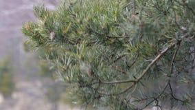 Baumastkiefer mit Kegeln und grünen Nadeln, Bewegung, entwickeln sich von den Windstößen in der Waldfläche Hurrikan, Sturm stock video