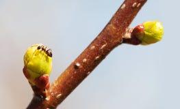 Baumastknospe, Ameise auf einem grünen Blatt Frühlingszeit und neues Lebenkonzept Makroansichtweichzeichnung Flache Schärfentiefe Stockfotografie