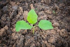 Baumaubergine wird angebaut Stockfoto
