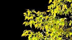 Baumblätter des Alphakanals stock video