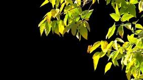 Baumblätter des Alphakanals stock footage