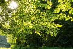 Baumblätter im warmen Sonnenlicht lizenzfreie stockfotos