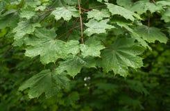 Baumblätter mit Regentropfen Stockfoto