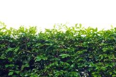 Baumblatt bepflanzt grünen Zaun mit Büschen stockbild