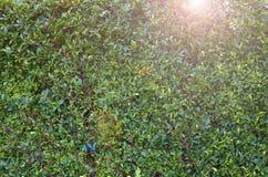 Baumblatt bepflanzt grünen Zaun mit Büschen lizenzfreie stockfotografie