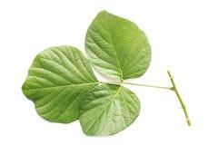 Baumblatt lokalisiert auf Weiß auf weißem Hintergrund Lizenzfreies Stockbild