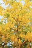 Baumblumen der goldenen Dusche Lizenzfreie Stockfotografie