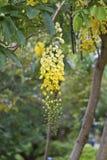 Baumblumen der goldenen Dusche stockfotografie