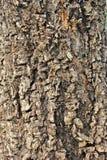Baumbraun-Barkenbeschaffenheit Stockfoto