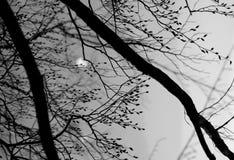 Baumbrunchs mit den Knospen während der Nacht Stockbilder
