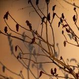 Baumbrunchs mit den Knospen während des Sonnenuntergangs Lizenzfreie Stockbilder