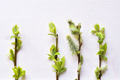 Baumbrunchs mit jungen Blättern Stockfotos