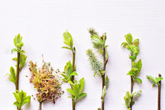 Baumbrunchs mit jungen Blättern Stockbild