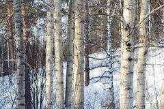 Baumbrunchs und -stämme im Wald im Vorfrühling Stockbilder