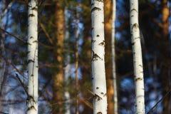 Baumbrunchs und -stämme im Wald im Vorfrühling Lizenzfreies Stockfoto