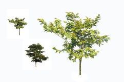 Baumbusch auf einem weißen Hintergrund Lizenzfreie Stockfotos