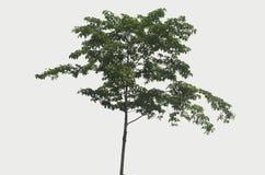 Baumbusch auf einem weißen Hintergrund Lizenzfreies Stockfoto