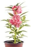 Baume de jardin Photo libre de droits
