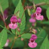 Baume indien de l'Himalaya, jewelweed rouge-rose I Le glandulifera d'Impatiens fleurit, grande fleur de casque décorative détaill Photo libre de droits