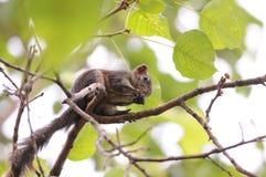 Baumeichhörnchen Lizenzfreie Stockfotografie