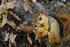 Baumeichhörnchen lizenzfreie stockfotos