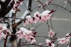 Baumfrühlingsblumen bedeckt im Schnee Lizenzfreie Stockfotos