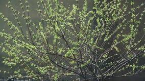 Baumfrühlingsbusch bewegt sich in den Wind stock video