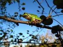 Baumfrosch auf Niederlassung auf Himmelhintergrund Lizenzfreie Stockfotos