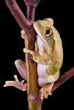 Baumfrosch auf Zweig Stockfoto