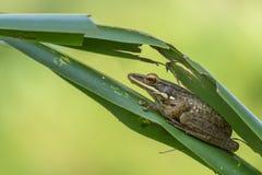 Baumfrosch, der hinter einem Palmblatt sich versteckt, Stockfoto