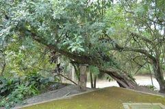 Baumholdingbaum leben stockfoto