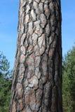 Baumklotzbeschaffenheit stellte gegen den blauen Himmel und den grünen Wald ein lizenzfreies stockbild
